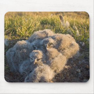 búho nevoso, scandiaca de Nycttea, polluelos en su Tapetes De Ratones