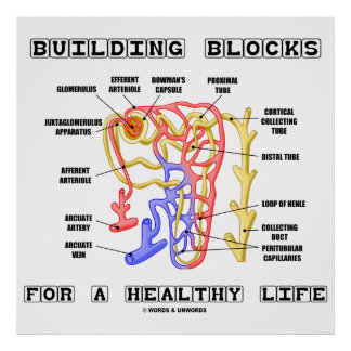 Building Blocks For A Healthy Life Kidney Nephron Poster