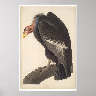 Buitre de Audubon California (2609A) Póster