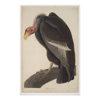 Buitre de Audubon California (2609A) Posters
