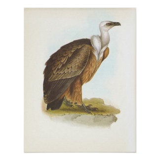 Buitre de Gould - de Griffon - fulvus de los Gyps Póster