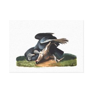 Buitre negro de la placa 106 de Audubon Impresión En Lona Estirada