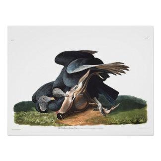 Buitre negro de la placa 106 de Audubon Perfect Poster