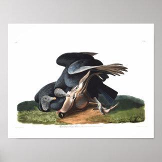 Buitre negro de la placa 106 de Audubon Póster