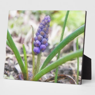 Bulb Garden - Grape Hyacinth Photo Plaque