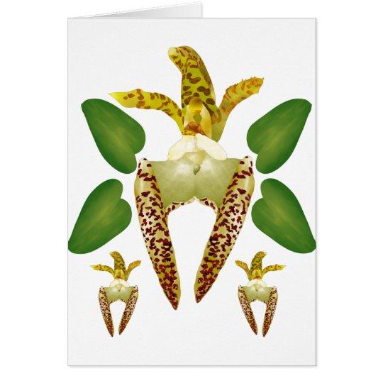 Bulboaphyllum Lasiochilum Card
