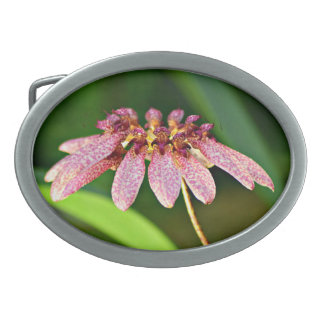 Bulbophyllum longiflorum belt buckle