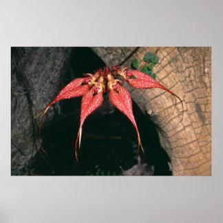 Bulbophyllum rotschildianum poster