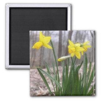 Bulbos de la primavera - narcisos imán cuadrado