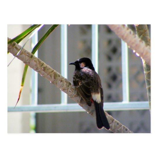 Bulbul Bird, Oahu, Hawaii Postcard