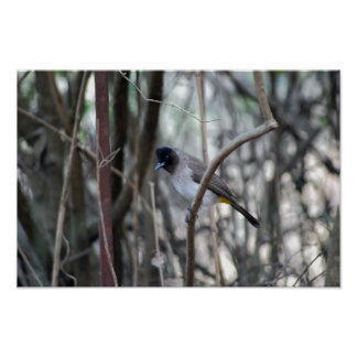 Bulbul  bird posing in the tree posters
