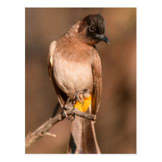 Bulbul Oscuro-Capsulado (Pycnonotus tricolor) Postal