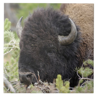 Bull Bison Resting in Forest, Yellowstone Tile