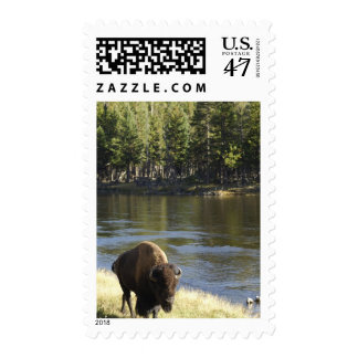 Bull Bison Walking Along River, Yellowstone Postage