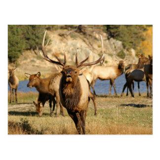 bull bugle postcard