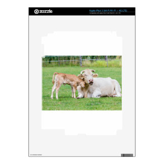 Bull calf loves mother cow in meadow iPad 3 skin