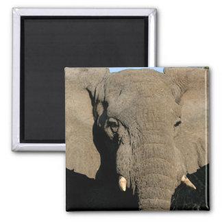 Bull elephant magnet