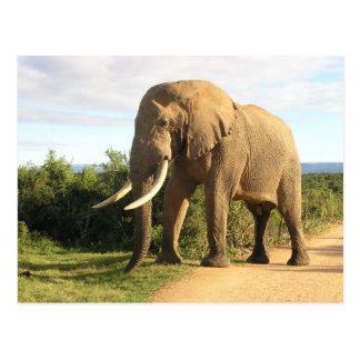 Bull Elephant Postcard
