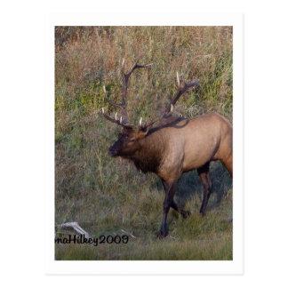 Bull Elk 1 Post Cards