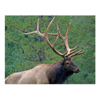 Bull elk and pines post cards
