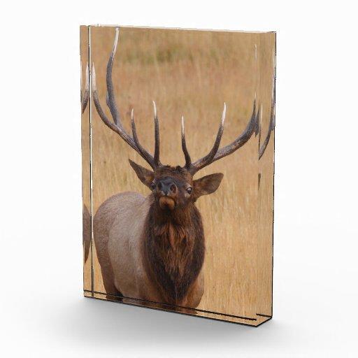 bull elk award