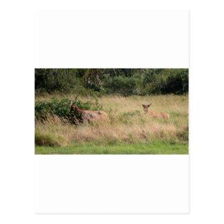 Bull Elk & Blackberries Postcard