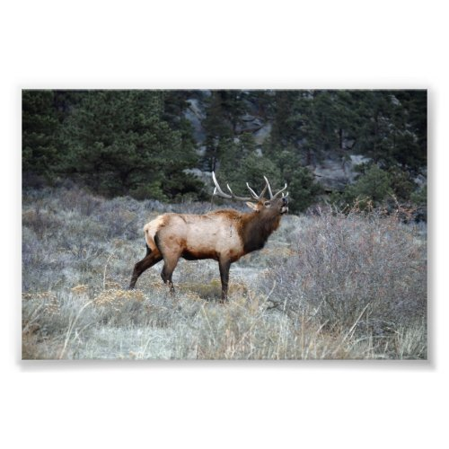 Bull Elk Bugling, Estes Park, Colorado Photo Print