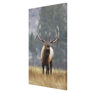 Bull Elk bugling, Yellowstone NP, Wyoming 2 Canvas Print