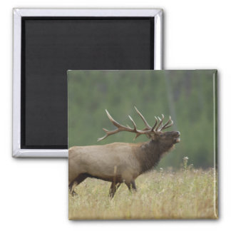 Bull Elk bugling, Yellowstone NP, Wyoming 2 Inch Square Magnet