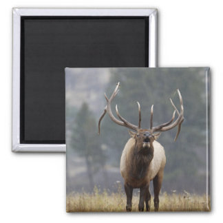 Bull Elk bugling, Yellowstone NP, Wyoming 2 2 Inch Square Magnet