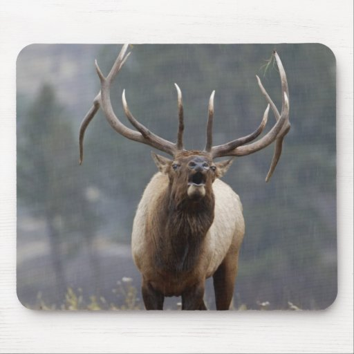 Bull Elk bugling, Yellowstone NP, Wyoming 2 Mouse Pad