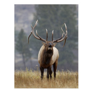 Bull Elk bugling, Yellowstone NP, Wyoming 2 Postcard