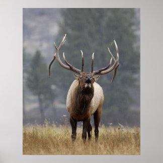 Bull Elk bugling, Yellowstone NP, Wyoming 2 Poster