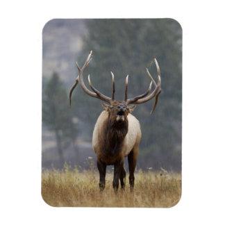 Bull Elk bugling, Yellowstone NP, Wyoming 2 Rectangular Photo Magnet