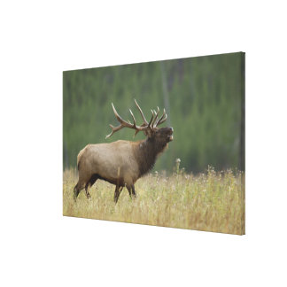 Bull Elk bugling, Yellowstone NP, Wyoming Canvas Print