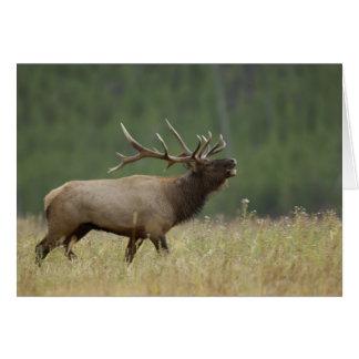 Bull Elk bugling, Yellowstone NP, Wyoming Card