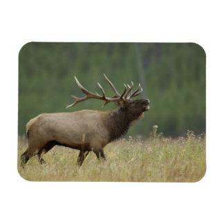 Bull Elk bugling, Yellowstone NP, Wyoming Rectangular Photo Magnet