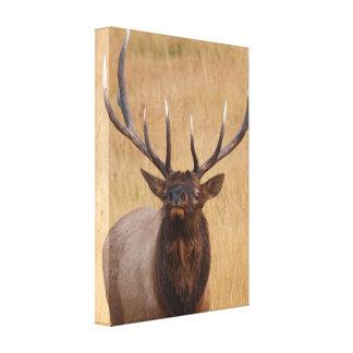 bull elk gallery wrap canvas