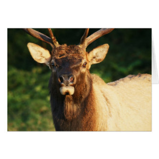 Bull Elk Card