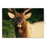 Bull Elk Cards