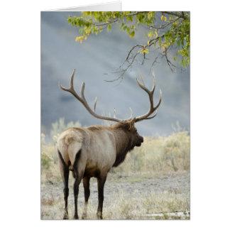 Bull Elk, Cervus canadensis, in the Greeting Card