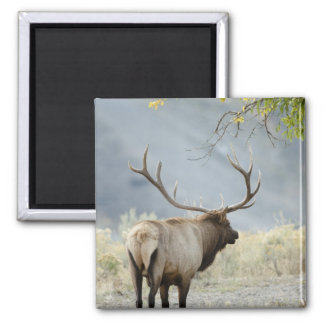Bull Elk, Cervus canadensis, in the Magnet