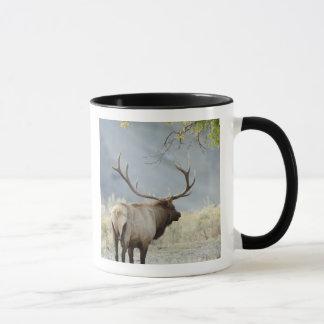 Bull Elk, Cervus canadensis, in the Mug