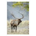 Bull Elk, Cervus canadensis, in the Photo Print