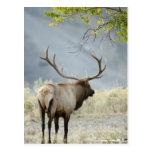Bull Elk, Cervus canadensis, in the Postcard