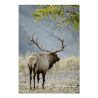 Bull Elk, Cervus canadensis, in the Poster