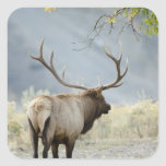 Bull Elk, Cervus canadensis, in the Square Sticker