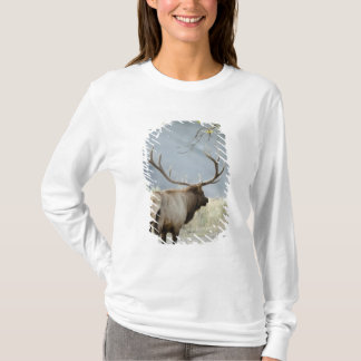 Bull Elk, Cervus canadensis, in the T-Shirt