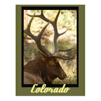 Bull Elk Colorado Postcards