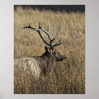 Bull Elk Crossing Madison River, Yellowstone Print
